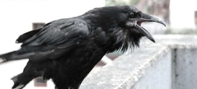 Comment repousser les corbeaux