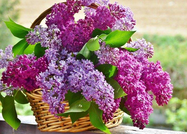 Comment planter un lilas pourpre commun