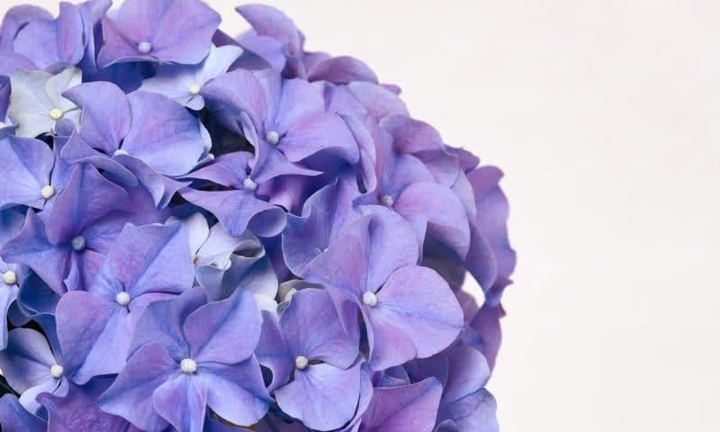 Faire fleurir vos fleurs d'hortensia