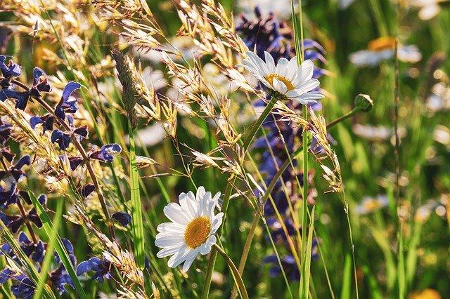 Cultiver la sauge à partir de graines en 4 étapes