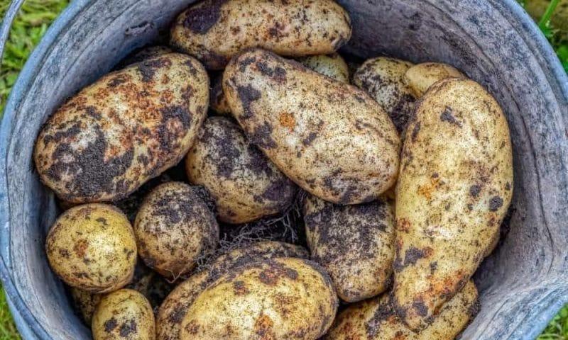 Cinq façons de conserver les pommes de terre pour qu'elles durent des mois